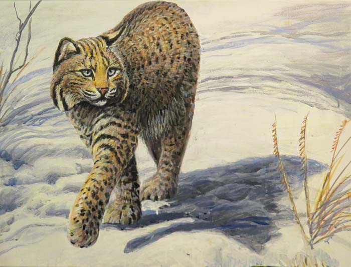 bobcat walking nov 5 2015 for ws