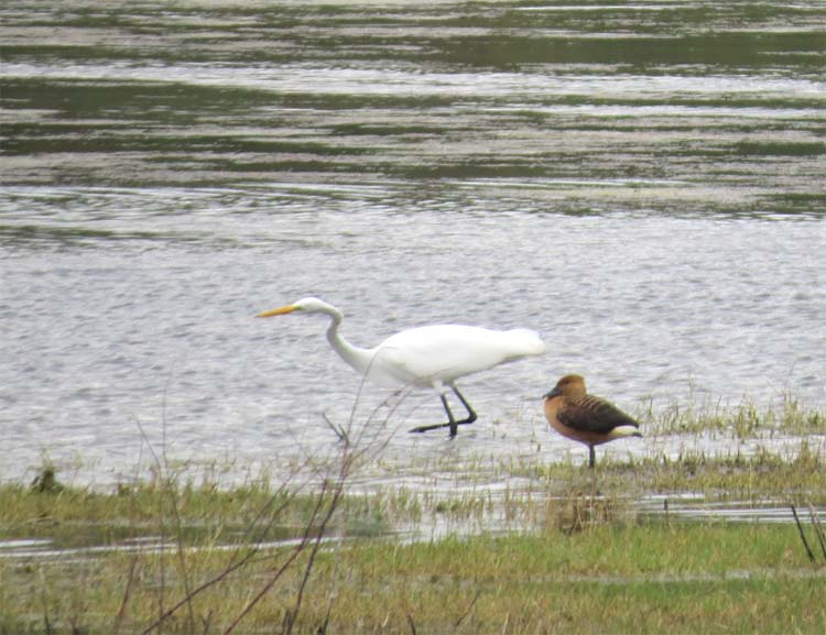 texas 2015 fulvous duck and Great Egret for ws