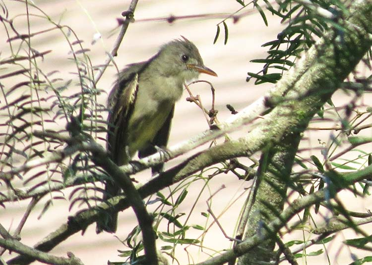texas 2015 greater pewee for ws