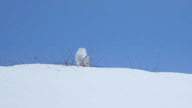 Omak Snowy Owl