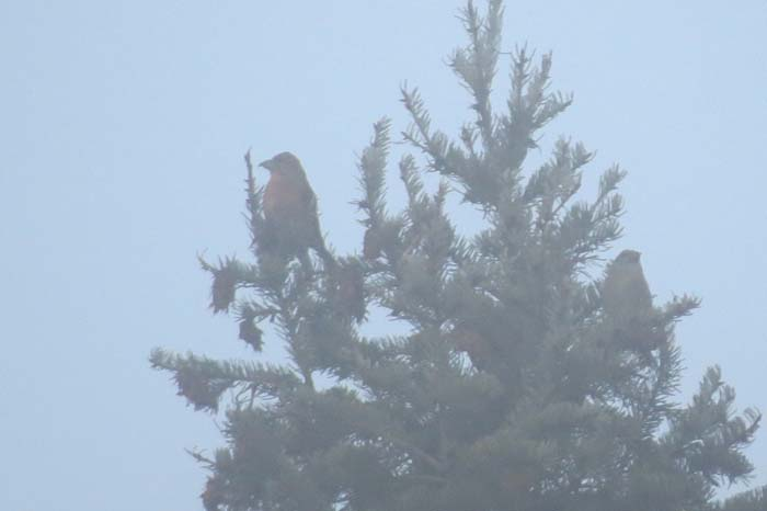Omak red crossbill