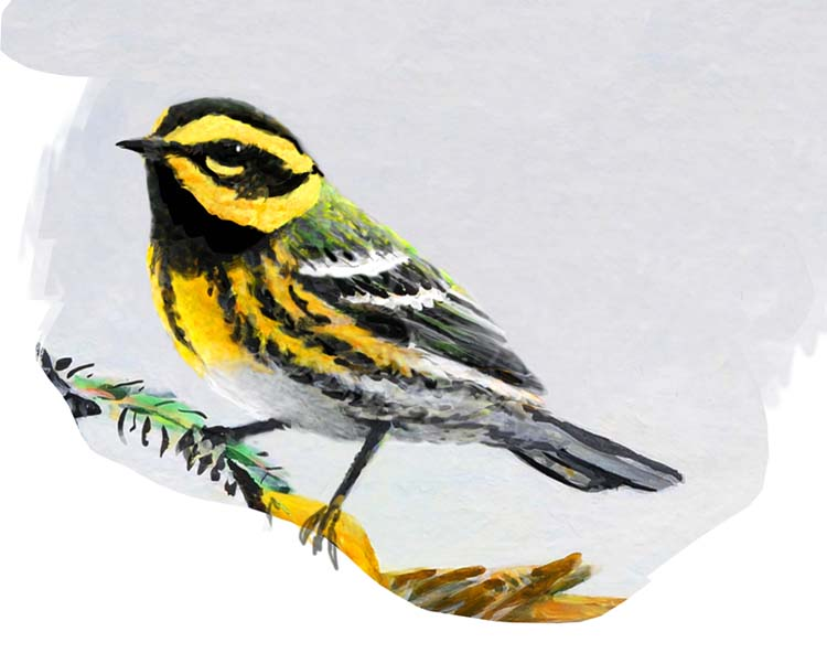 Townsend's Warbler for SAS for ws