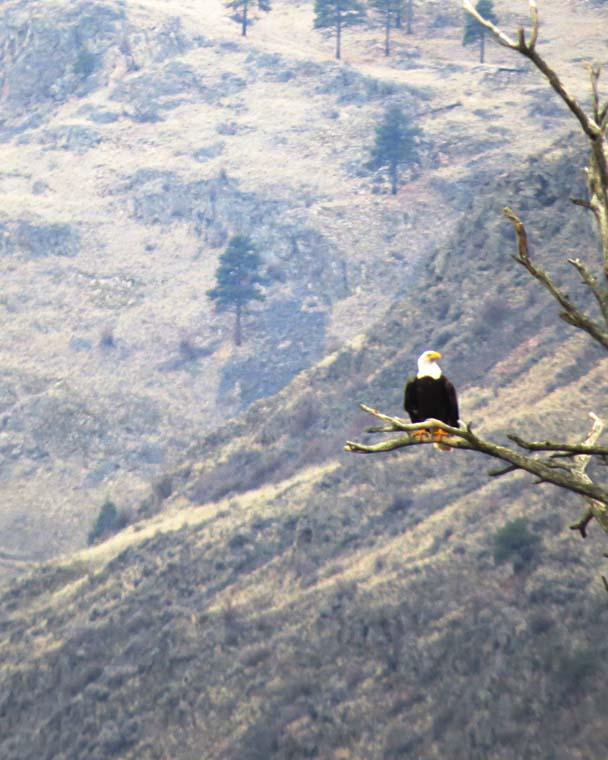 omak canyon bald eagle