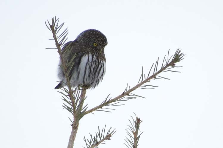omak northern pygmy owl better