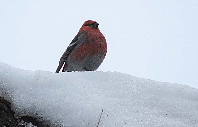 omak pine grosbeak