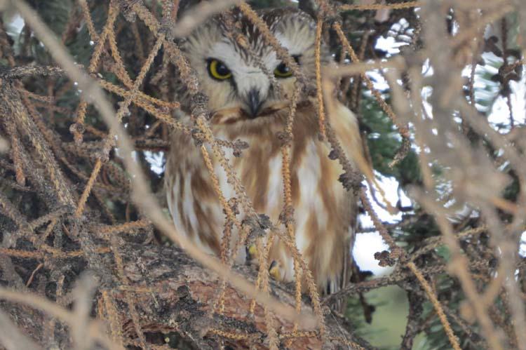 omak saw-whet owl