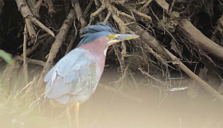 Green Heron Lake Sam 319 16 crest up