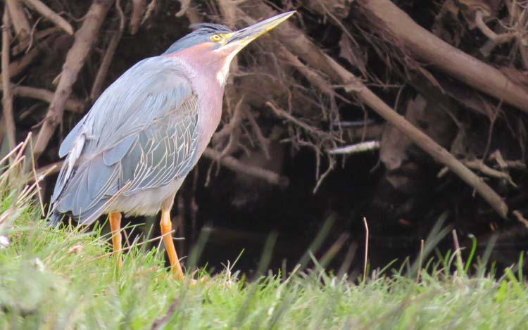 Green Heron Lake Sam 319 16 looking up
