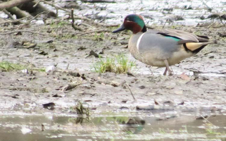 Green-winged Teal lake sam 3 19 16