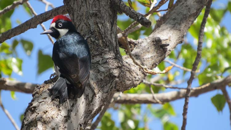 rodeo march 2016 acorn woodpecker turned