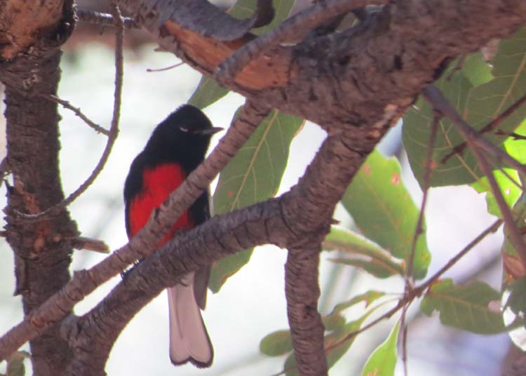 rodeo march 2016 painted redstart