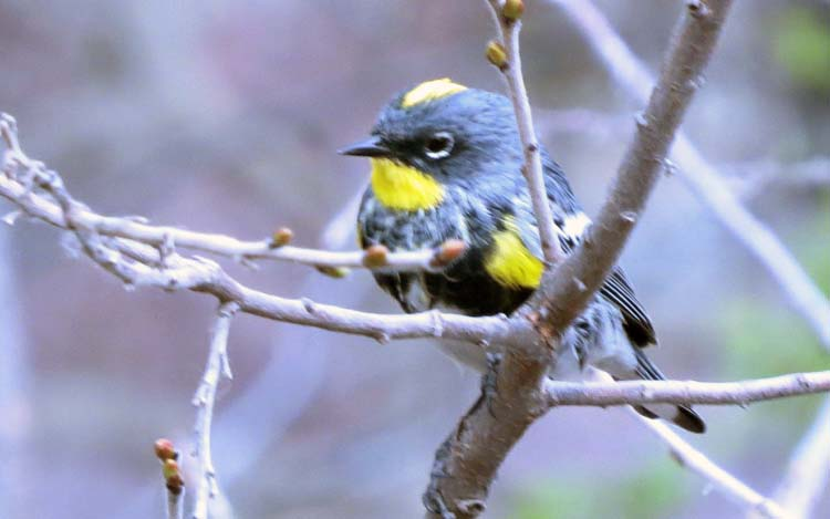 rodeo march 2016 yellow-rumped warbler