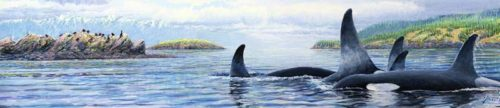 orcas in the salish sea for large skinny 7 21 16  for ws