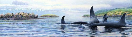 orcas in the salish sea for medium skinny 7 22 2016 for ws