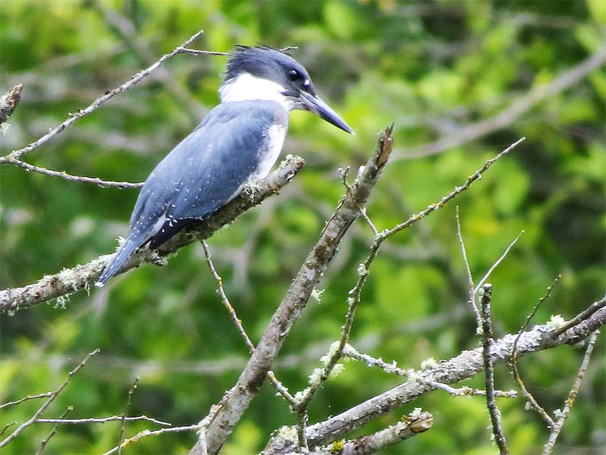 Belted Kingfisher Lake Sam july 2016 for ws