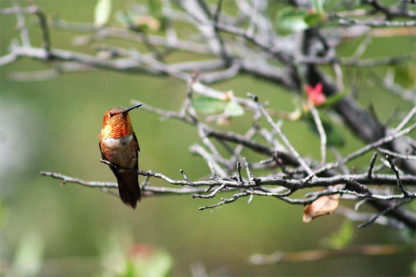 Rufous Hummingbird Rodeo EN for august blog
