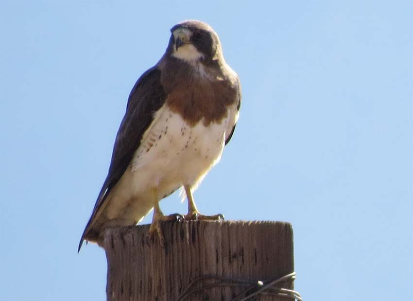 Swainson's Hawk Rodeo NM for ws