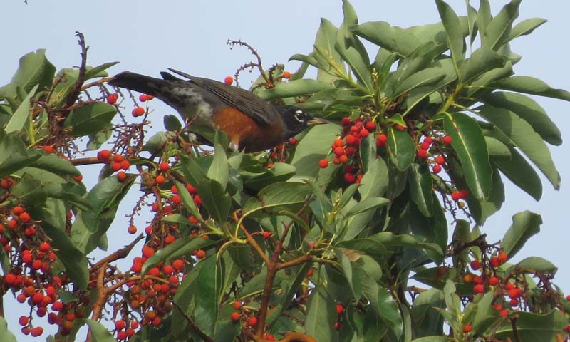 american-robin-madrona-berries-oct-18-2016-disco-for-ws