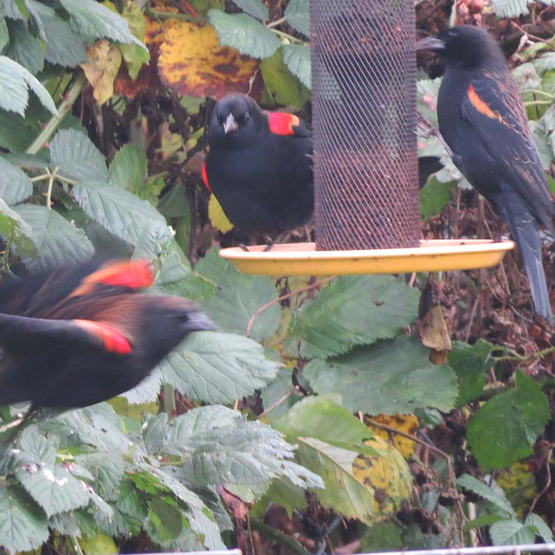 cape-flattery-oct-2016-red-winged-blackbirds-ad-males-on-feeder-for-ws