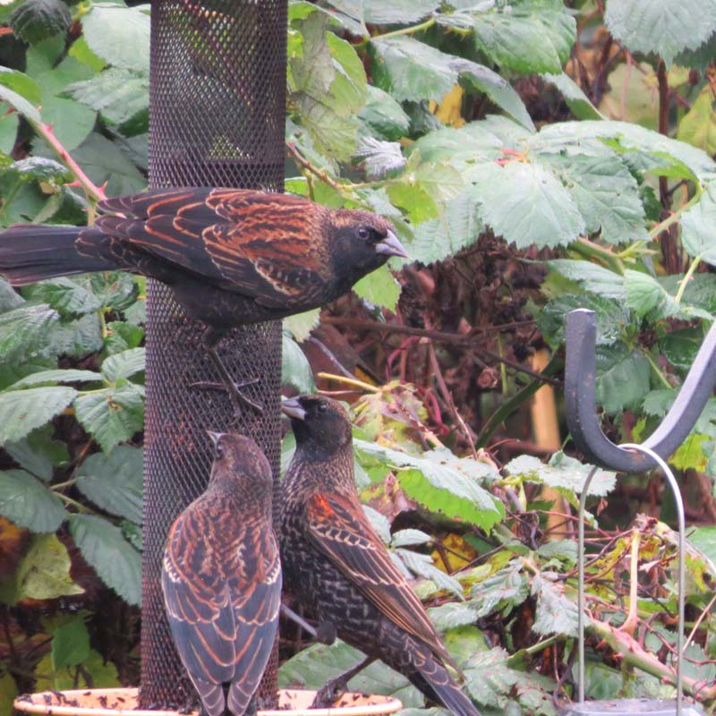 cape-flattery-oct-2016-red-winged-blackbirds-on-feeder-for-ws
