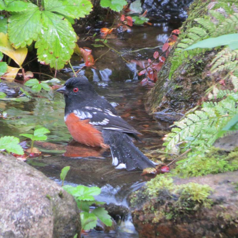 cape-flattery-oct-2016-spotted-towhee-bathing-for-ws