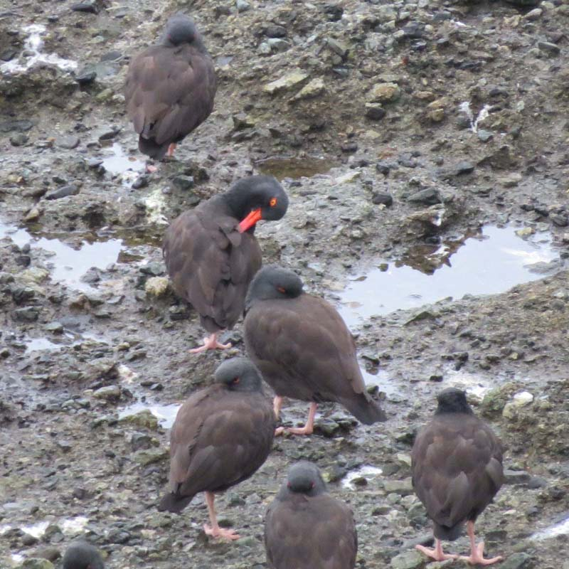 cape-flattery-oct-2016-black-oystercatchers-for-ws