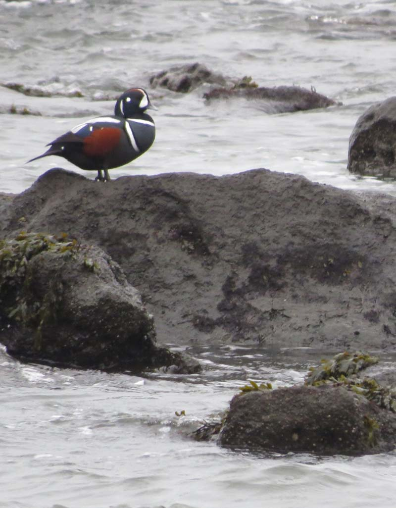cape-flattery-oct-2016-harlequin-duck-use-this-for-ws