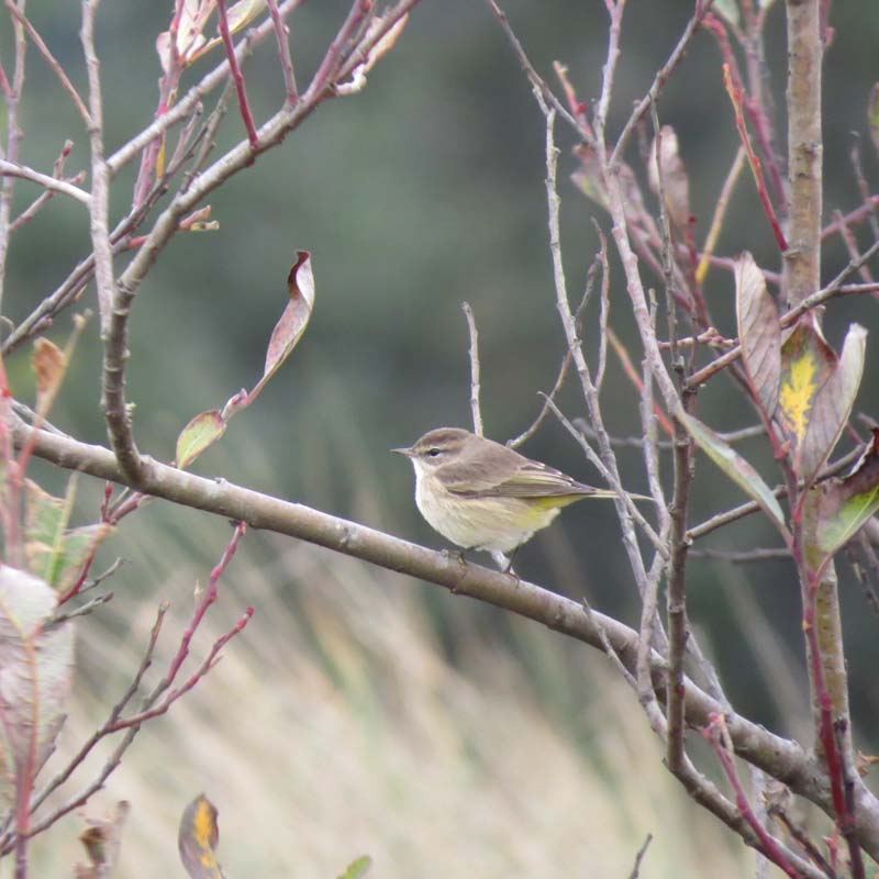 cape-flattery-oct-2016-palm-warbler-for-ws