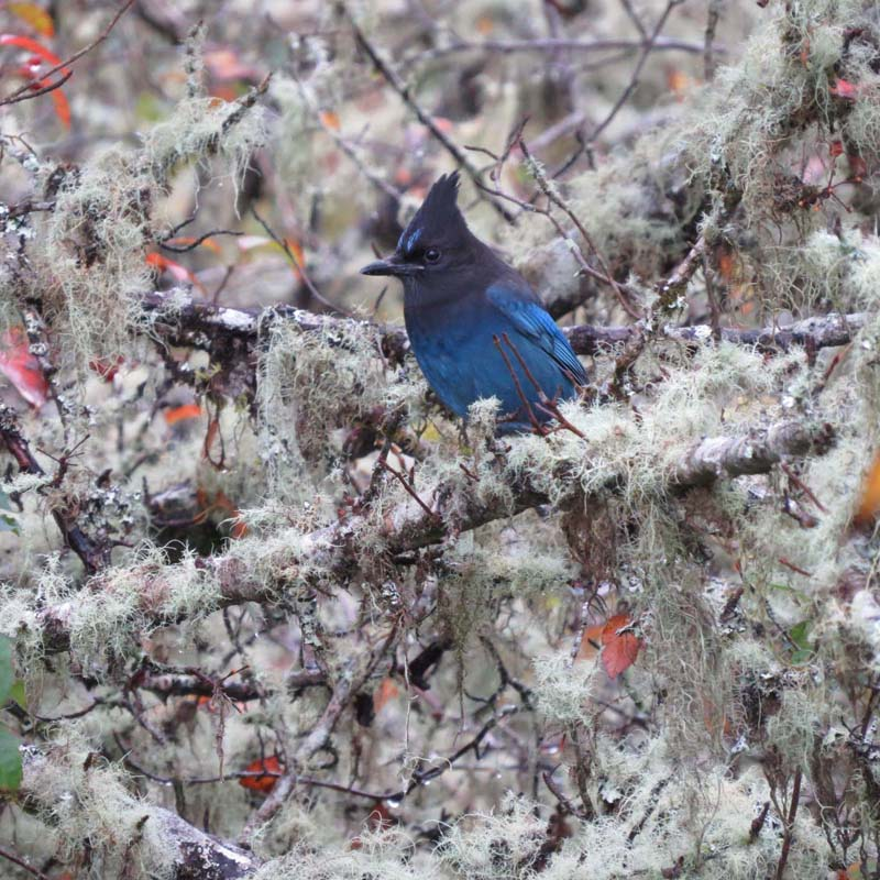cape-flattery-oct-2016-stellers-jay-for-ws