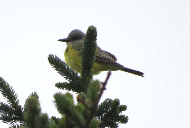 cape-flattery-oct-2016-tropical-kingbird-for-ws