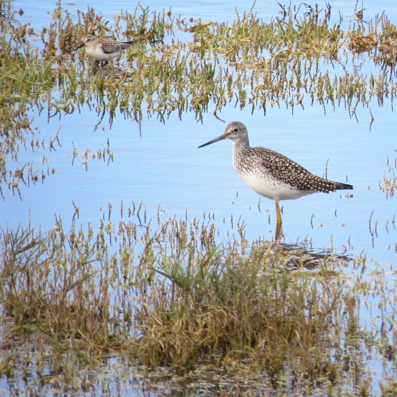 greater-yellowlegs-three-crabs-sept-2016-for-ws