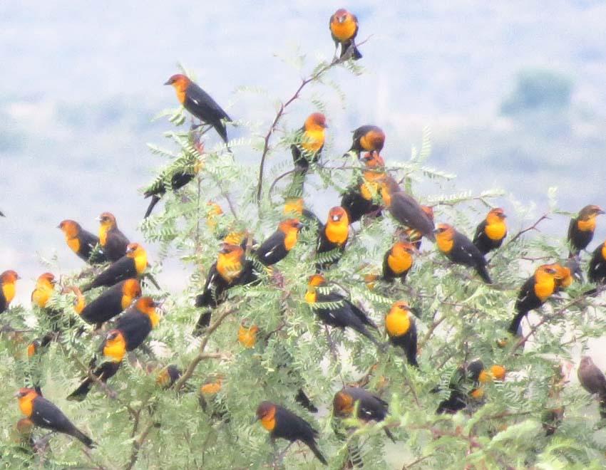yellow-headed-blackbird-flock-2-willow-tank-for-ws