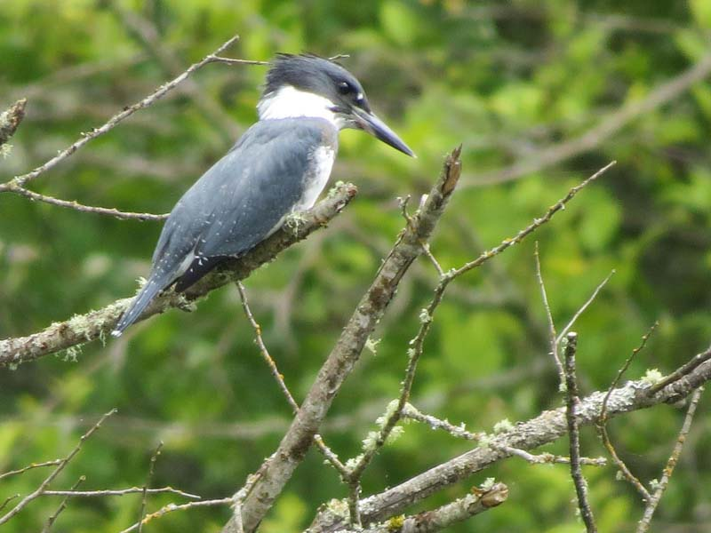 belted-kingfisher-lake-sam-2016-for-ws