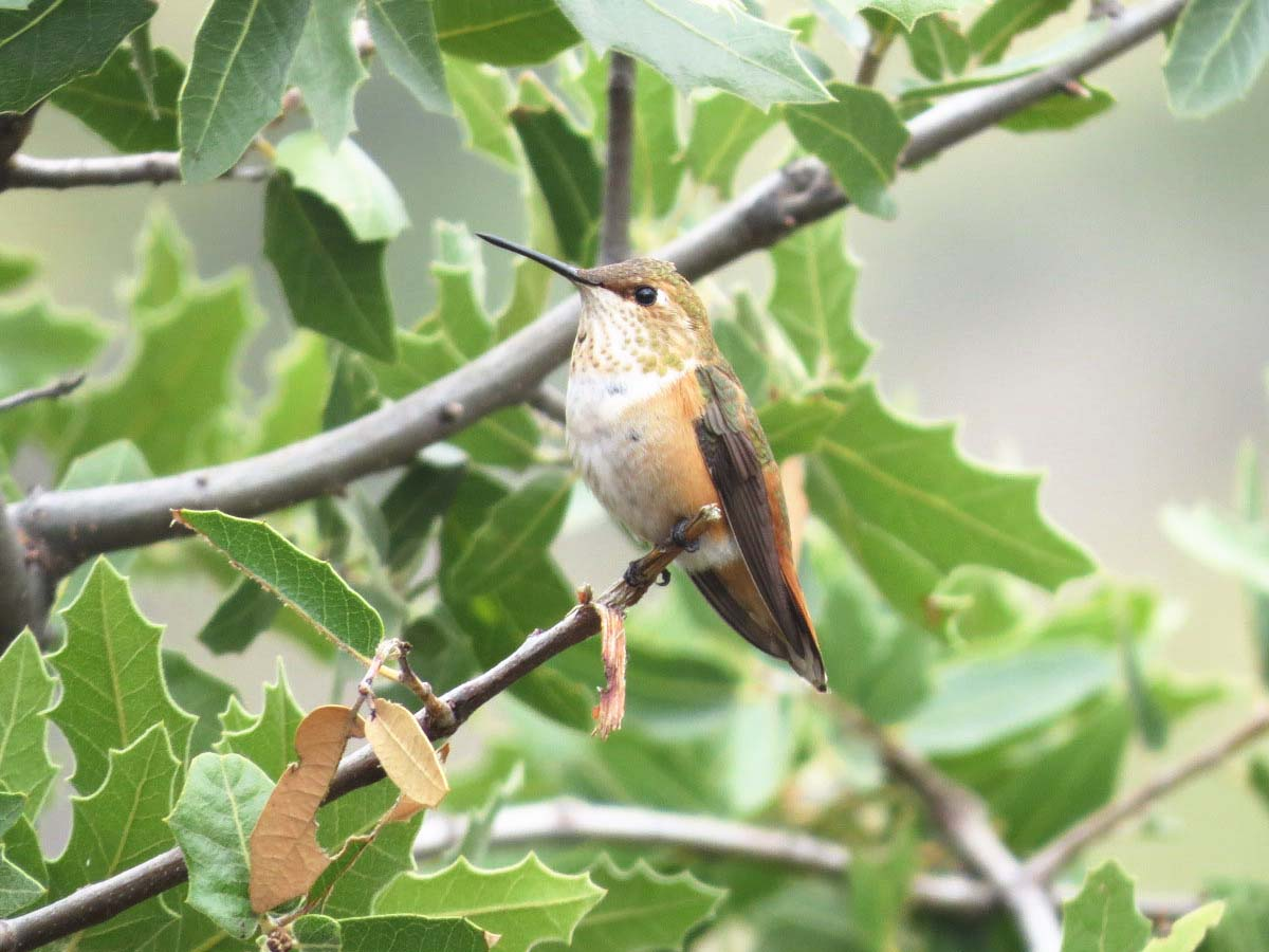 rufous-hummingbird-female-sept-2016-ranch-for-ws