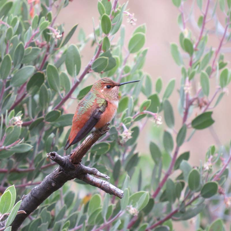 transfer-rufous-hummingbird-rodeo-sept-26-2016-for-ws