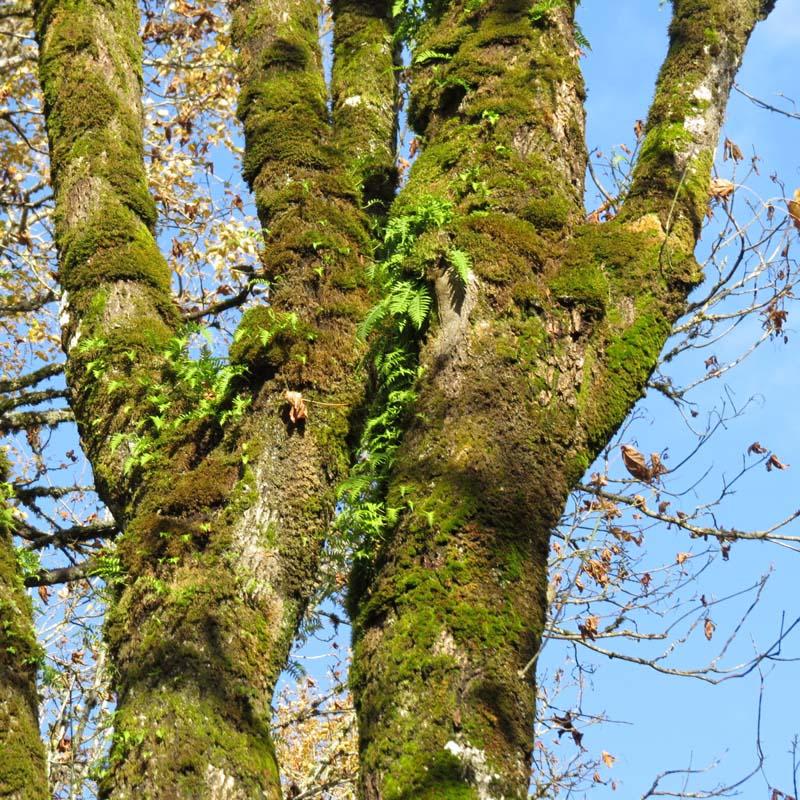 bigleaf-maple-and-licorice-fern