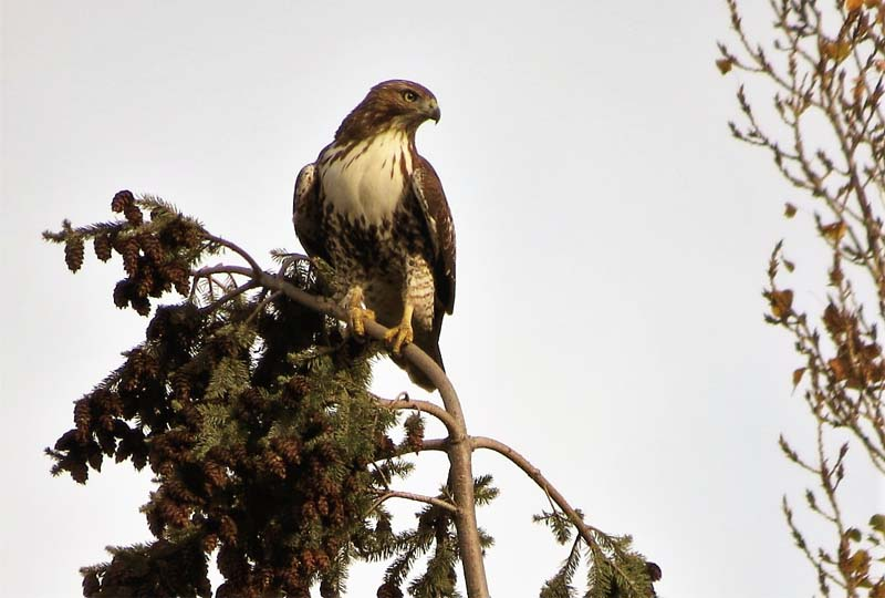 red-tailed-hawk-11-4-2016-wieslaws-for-ws
