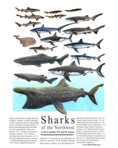 sharks-mini-poster-for-ws