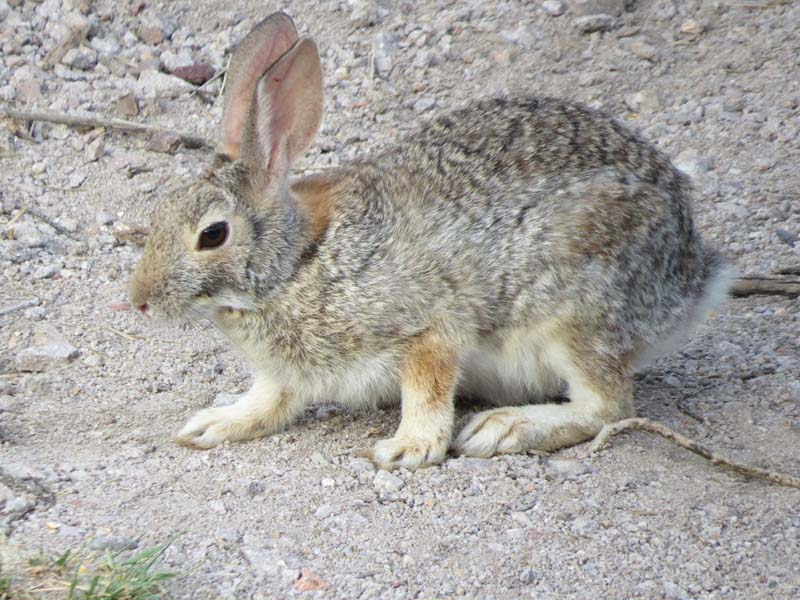 desert-cottontail-2016-for-ws