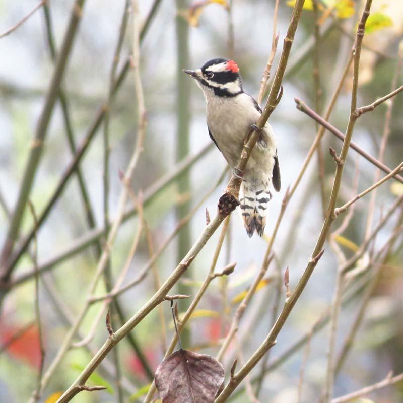 downy-woodpecker-lake-sam-2016-cute-1-for-ws