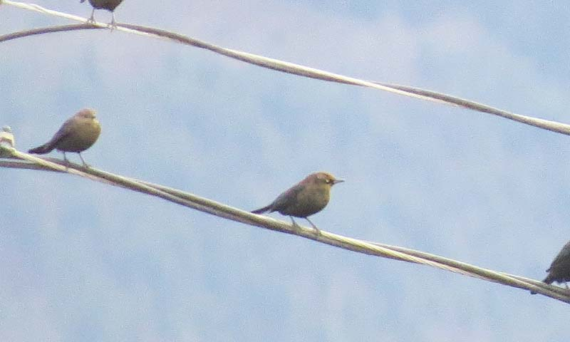rusty-blackbird-skagit-for-ws