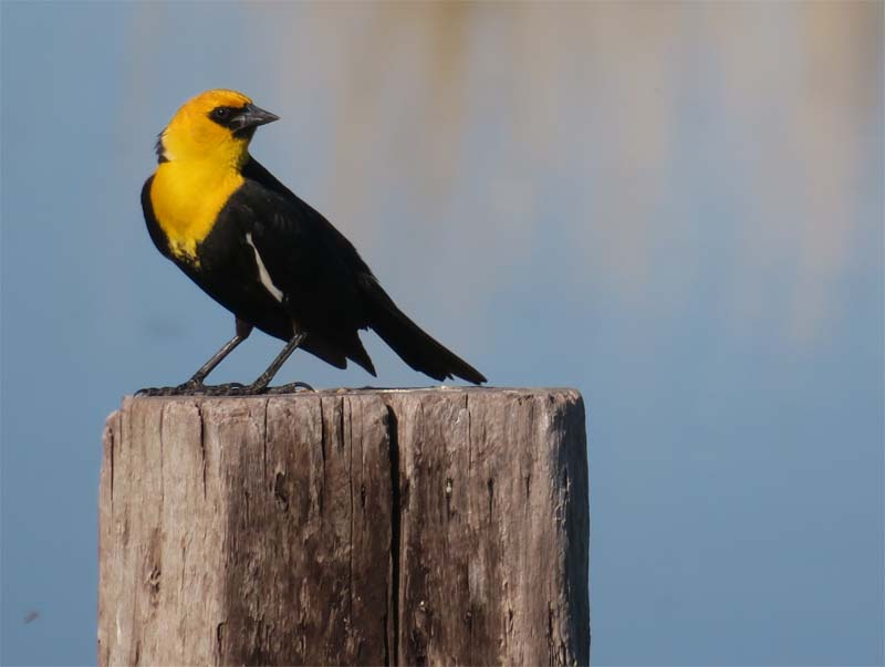 This image has an empty alt attribute; its file name is Yellow-headed-Blackbird-june-2018-county-line-ponds-for-ws.jpg