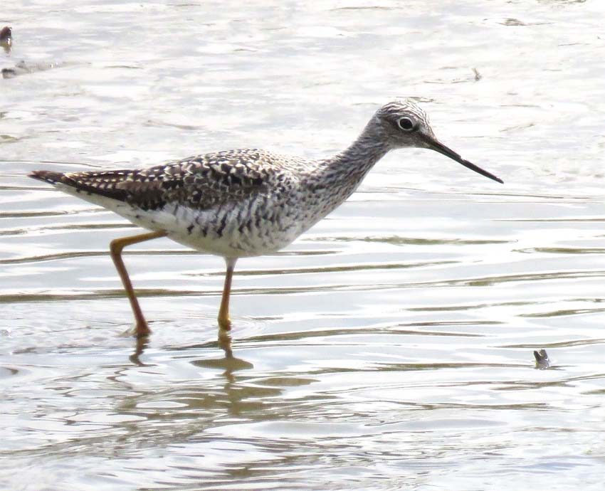 This image has an empty alt attribute; its file name is greater-Yellowlegs-for-calrice-for-ws.jpg